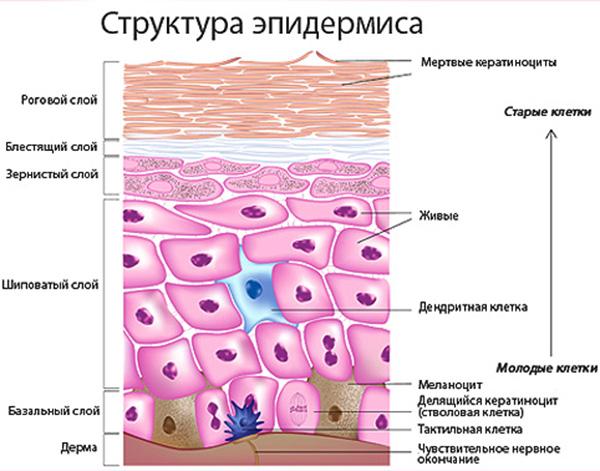 Матрикс кожи